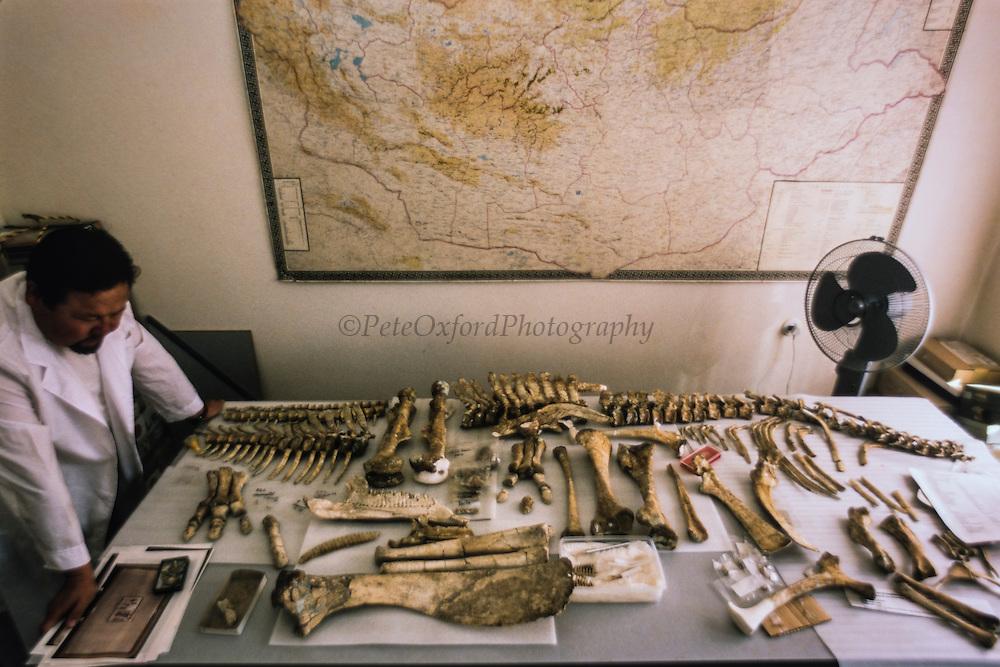 Tsogtbaatar.KH (head of lab)<br /> New specimens on display at Paeleontological laboratory<br /> Ulaanbaatar<br /> Mongolia