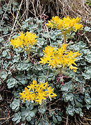 A yellow stonecrop (sedum) flower blooms on a sunny slope in Deception Pass State Park, in the state of Washington, USA. Sedum is a large genus of flowering plants in the family Crassulaceae. Hike the lovely Goose Rock Perimeter Trail on Whidbey Island.