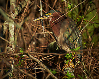 Green Heron perched on a branch in Big Cypress Swamp. Image taken with a Nikon Df camera and 80-400 mm Vr lens (ISO 1600, 280 mm, f/5.6, 1/1600 sec).