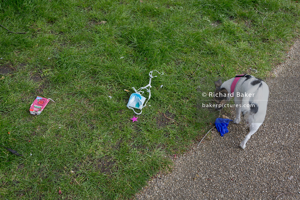 At the beginning of the second week of the UK's Coronavirus lockdown and in accordance with government guidelines for social distancing and local daily exercise, a local dog sniffs a used discaded surgical glove that lies in the grass in Ruskin Park, a green public space in the borough of Lambeth, south London, on 30th March 2020, in London.