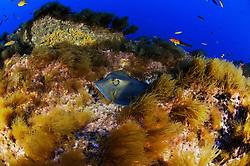 Dasyatis pastinaca, Gewöhnlicher Stachelrochen auf algenbewachsener Untiefe, Common stingray on rock with algae, Azoren, Portugal, Atlantik, Atlantischer Ozean, Azores, Portugal, Atlantic Ocean
