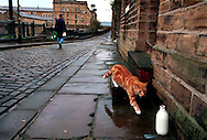 A cat walks up to some milk left by part-time milkman in Saltaire, Bradford, West Yorkshire, UK.