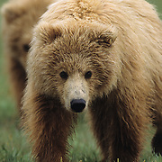 Alaskan Brown Bear cub. Katmai National Park, Alaska