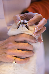 © Licensed to London News Pictures. 23/11/2013. London, England. A judge examines a British Shorthair Cat. The 37th Supreme Cat Show takes place at the National Exhibition Centre in Birmingham, UK. Photo credit: Bettina Strenske/LNP