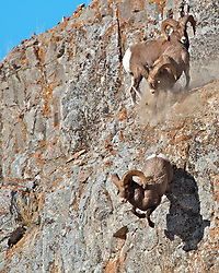 Fighting Bighorn Rams, one ram knocks another off a cliff