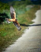 Hawk in Flight. Biolab Road, Merritt Island National Wildlife Refuge. Image taken with a Nikon D4 camera and 500 mm f/4 VR lens (ISO 560, 500 mm, f/8, 1/2000 sec).