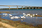 Mute Swans, Cygnus Olor, feeding, River Orwell near Orwell bridge, Wherstead, Suffolk, England, UK