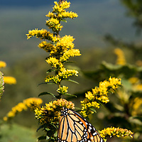 A migrating monarch butterfly alights on flowers at the Pounding Mill Overlook along the Blue Ridge Parkway southwest of Asheville, North Carolina.