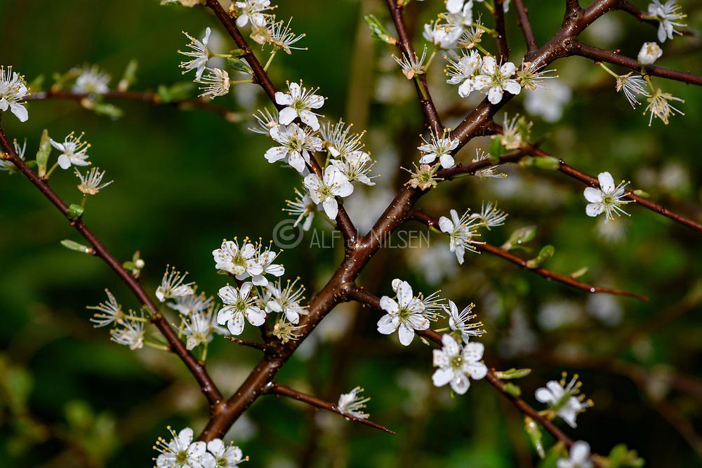 Blackthorn (Prunus spinosa) flowering at Hidra, south-western Norway in May.