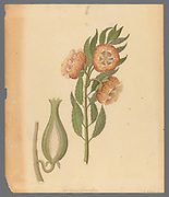 Asclepias grandiflora [Pachycarpus grandiflorus] from a collection of ' Drawings of plants collected at Cape Town ' by Clemenz Heinrich, Wehdemann, 1762-1835 Collected and drawn in the Cape Colony, South Africa