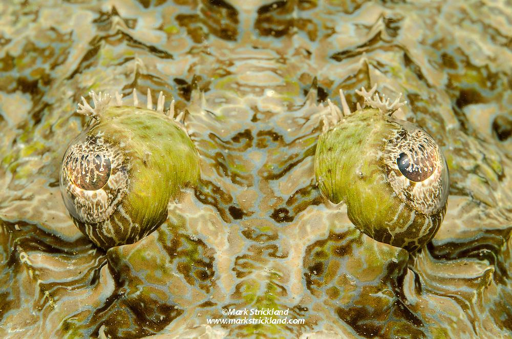 Closeup of a Crocodilefish, Cymbacephalus beauforti, Florida Islands, Solomon Islands, Pacific Ocean