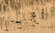 Duck with her ducklings in flooded meadow, Oxfordshire, United Kingdom