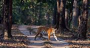 "The Bengal tiger (Panthera tigris tigris) known as T-32 ""Umarjhola"" (""Broken Tail"") crossing the road in Kanha National Park, Madhya Pradesh, india."