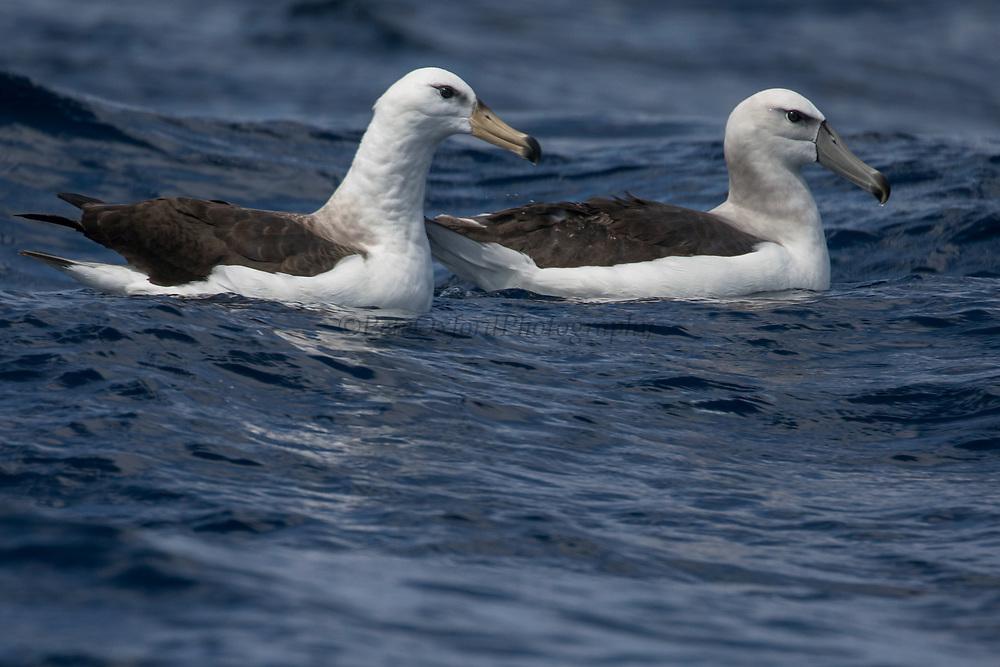 Shy Albatross (Thalassarche cauta) & Black-browed Albatross (Thalassarche melanophrys)<br /> South of South Africa<br /> Western Cape<br /> South Africa<br /> Juveniles<br /> 60 miles south of Gansbaai