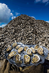Oysters on half shell on harvesting stack.