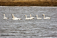 Tundra Swans. Arapaho National Wildlife Refuge. Image taken with a Nikon D2XS and 200-400 mm f/4 VR lens + TCE-II 20 teleconverter (ISO 400, 800 mm, f/8, 1/640 sec). Raw image processed with Capture One Pro 6, Photoshop CS5, Nik Define, Nik Color Efex Pro 2.