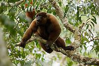Poeppig's Woolly Monkey (Lagothrix poeppigii) at the Tiputini Biodiversity Station, Orellana Province, Ecuador<br /><br />Large male