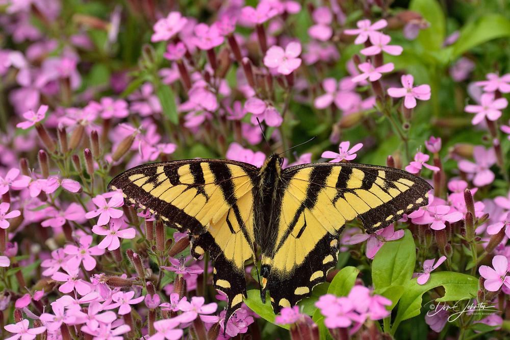 Canadian tiger swallowtail (Papilio Canadensis) Nectaring garden flowers, Greater Sudbury, Ontario, Canada