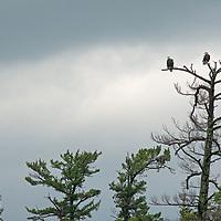 Bald Eagles (Haliaeetus leucocephalis) endure a rainstorm atop a dead Eastern White Pine by Lake of the Woods, Ontario, Canada.