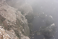 Gannet (Morus bassanus) Colony, Hermaness, Shetland Isles, Scotland