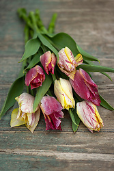 Tulip 'YYF 220'
