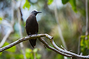 Lesser noddy (Anous tenuirostris) in a tree. This is a species of tern. Photographed on Bird Island, Seychelles. in October
