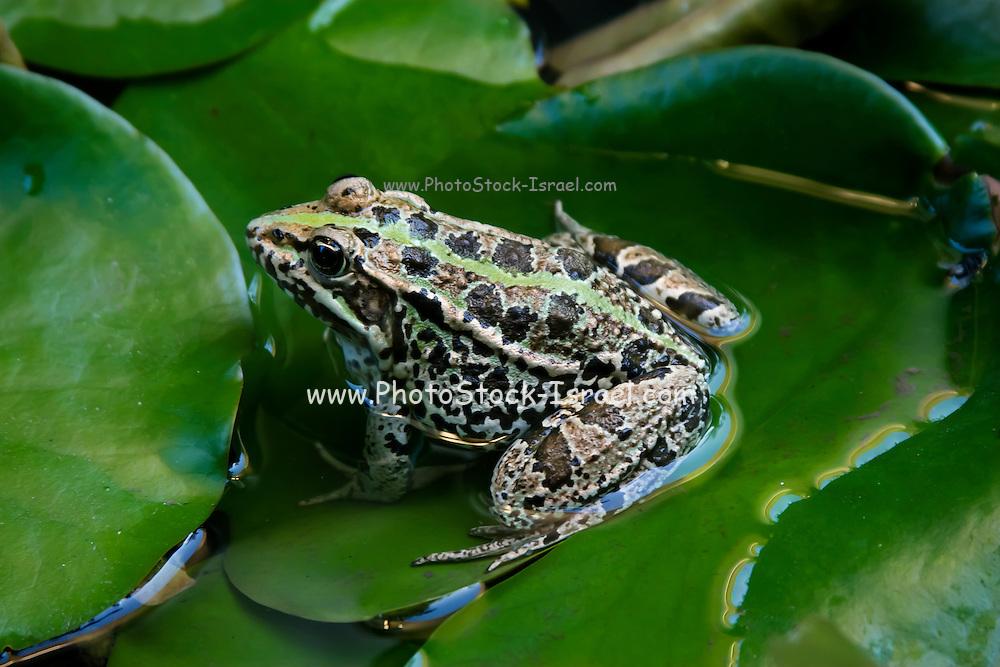 European green toad (Bufo viridis or Pseudepidalea virdis) on water lily leaf
