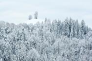 Zwei Linden (Tilia sp.) auf einem Hügel und ein Mischwald in der tief verschneiten Drumlinlandschaft bei Menzingen bei diffuser Bewölkung, Kanton Zug, Schweiz<br /> <br /> Two linden trees (Tilia sp.) On a hill and a mixed forest in the snow-covered Drumlin landscape near Menzingen with diffuse clouds, Canton Zug, Switzerland