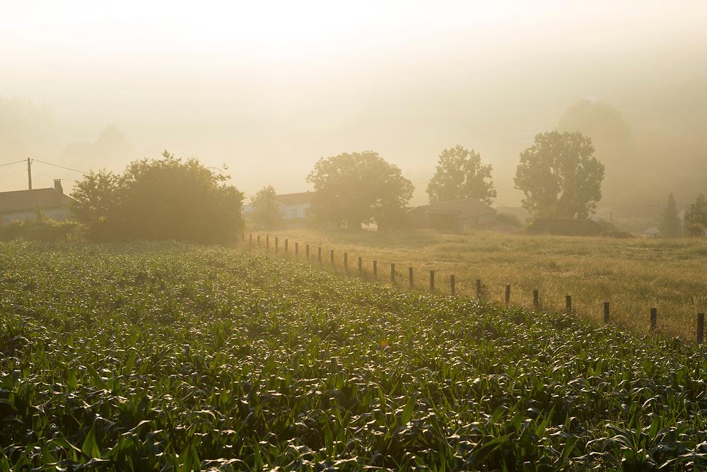 A corn field is bathed in golden light at sunrise on the Camino de Santiago in the Galician village of Ribadiso da Baixo