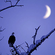 Bald Eagle, (Haliaeetus leucocephalus) Silhouette of adult perched in tree with cresent moon rise. Alaska.