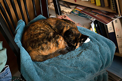 Zelda the cat naps on chair in the kitchen of her Oakland, Calif. home, Friday, March 6, 2020. (Photo by D. Ross Cameron)