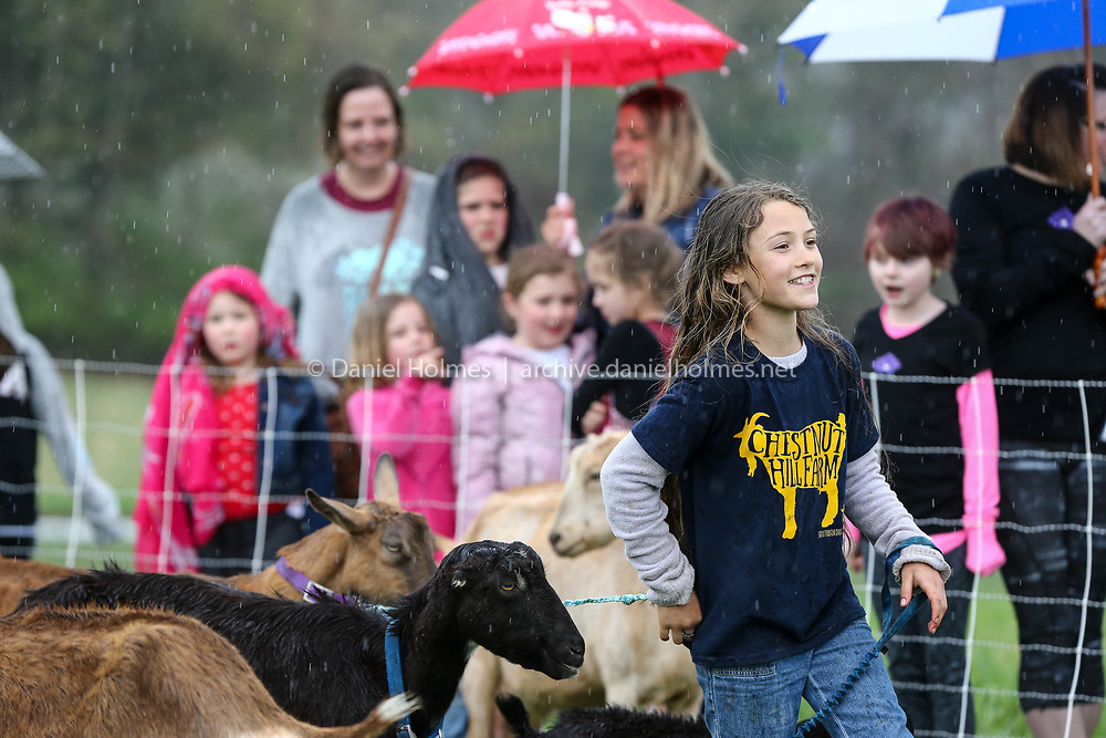 (4/30/17, SOUTHBOROUGH, MA) Elspeth Robertson-DuBois, 10, of Southborough, gathers up the mother goats before the annual Running of the Goats at Chestnut Hill Farm in Southborough on Sunday. [Daily News and Wicked Local Photo/Dan Holmes]