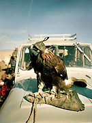 A golden eagle on the jeep of its owner.<br /> <br /> Eagle Hunting festival in Western Mongolia, in the province of Bayan Olgii. Mongolian and Kazak eagle hunters come to compete for 2 days at this yearly gathering. Mongolia