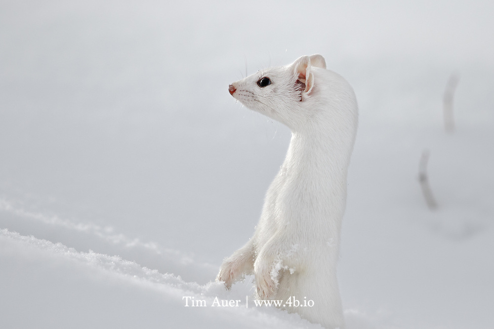 """Alert and Invisible <br /> <br /> Long tailed weasel<br /> <br /> Yellowstone National Park<br /> <br /> This is not an easy subject to photograph, especially in winter! They are quick, clever animals with near perfect camouflage.  The only weakesses in its winter appearances are its three black spots: two eyes and the tip of its long tail. If it weren't for those black areas and the weasel's natural curiosity; I never would have managed to get this image. <br /> <br /> I was on my annual photo trip to Yellowstone with my parents. While driving slowly near Tower Junction my mom and dad in the front seat first spotted the weasel, or more accurately, observed its black tip bouncing across the snow-covered road in front of us.  They told me """"Ermine. 6 o'clock. Go!"""" I exited the backseat of the now parked vehicle with silent haste,  and began to scan for the weasel's characteristic tracks in the deep powder snow.  Like the weasel's fur, the scene lacked contrast. White on white on white, with an occasional stray sage brush poking above the snow.  After scanning the scene for what felt like an eternity, but in reality was seconds, I spotted the tracks and followed them with my eyes to a tiny hole where they ended. The weasel was nowhere to be seen. I prefocused my lens on the hole and assumed the opportunity was lost. As I scanned the area around the hole, I noticed two small eyes in a different hole closer to me, the weasel had reappeared and was looking at me. I trained my lens on the hole and manually focused but couldn't achieve focus. The problem wasn't lack of contrast, I was within the lens' 4.5m minimum focus distance. I leaned back as far as I could and hoped the weasel would give me one more opportunity. As I peered through the viewfinder, the weasel shot up, surveyed its surroundings, did a 180-degree turn, and vanished. <br /> <br /> This entire encounter, from first spot in car to last spot in snow, can be measured in seconds. In fact, based on the photo tim"""