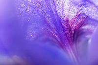 Apulia; Gargano Peninsula; Iris; Italy
