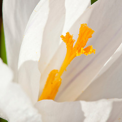 A white crocus in a garden in Portsmouth, New Hampshire.