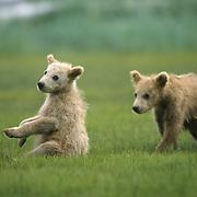 Alaska brown bear (Ursus middendorffi) cubs, one sitting on its rump and the other walking. Katmai National Park & Preserve, Alaska