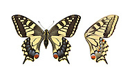 Swallowtail - Papilio machaon britannicus - female. Wingspan 70mm. Iconic and unmistakable butterfly with mainly yellow and black wings; hind wings have blue and red spots, and tail streamers. Double-brooded: adults are on the wing May–June, and again in August. Larva is yellow-green with black and red markings; feeds on Milk-parsley. Restricted to a few fens and marshes in East Anglia, mainly in the Norfolk Broads; easiest to see at Strumpshaw Fen and Hickling Broad.
