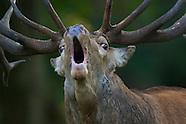 Deer, Denmark