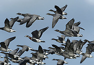 Red-breasted Goose - Branta ruficollis in flight with a flock of Brent Geese - Brants bernicla. Unmistakable with its red, black and white plumage. It breeds in Siberia and normally winters in Romania.