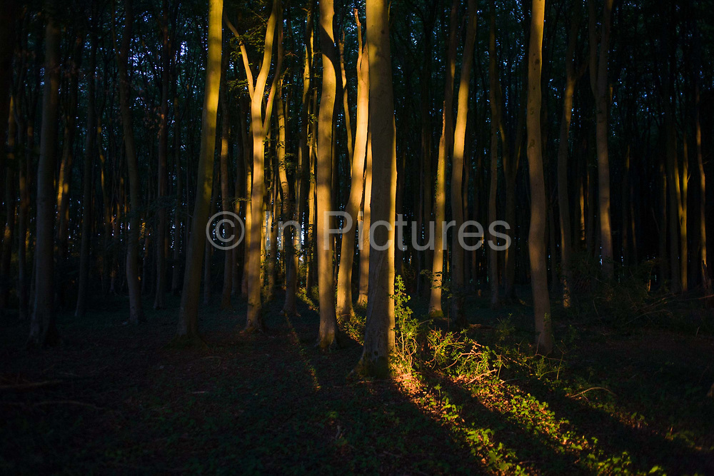 Beech trees in orange light during late evening summer sunshine in woodland in North Somerset, UK. The beech are on private land belonging to a local landowner (photographer's family) outside of Bristol in the south west. The last light finds the trees in the otherwise dense and dark woods.
