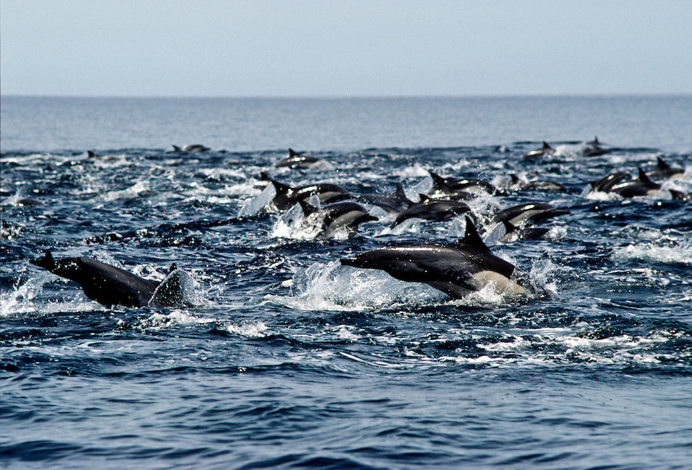 A school of dolphins off the shore of Baja California.