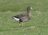 European White-fronted Goose - Anser albifrons albifrons - 1st winter.  L 65-75cm. Adults have striking white patch on forehead. 2 ssp. occur: Greenland White-front A.a.flavirostris has orange bill and overall darker plumage than smaller, pink-billed European White-front A.a.albifrons. All birds have orange legs and mainly dark wings with faint pale wing bars. Sexes are similar. Adult Greenland has dark brown head grading to paler brown on neck and underparts; note black patches on belly and large white forehead patch. Back is dark grey-brown and stern is white. Bill tip is white. Adult European is shorter-necked and paler, especially on head, belly and back. Bill tip is white. Juveniles are similar to respective adults but lack white forehead patch and black belly markings; tip of bill is dark. Voice Utters barking, musical calls. Status Locally common winter visitor; Greenlands visit in Ireland and NW Scotland, Europeans visit England and S Wales. Favours wet grassland.
