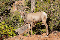 https://Duncan.co/bighorn-sheep-at-zion-national-park