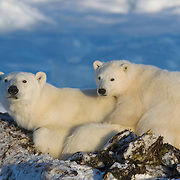 Polar Bear (Ursus maritimus) mother with cub lying in a sea kelp bed during the winter. Churchill, Manitoba, Canada