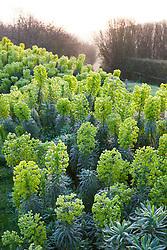 Euphorbia characias subsp. wulfenii 'John Tomlinson' on the bank