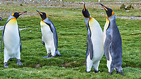 King Penguin (Aptenodytes patagonicus). Fortuna Bay, South Georgia. Image taken with a Leica T camera and 18-55 mm lens.