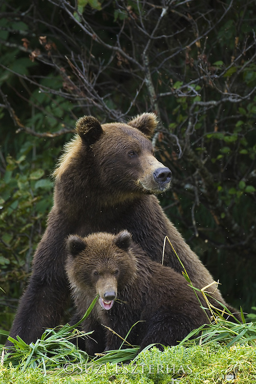 Alaskan Brown Bear<br /> Ursus arctos middendorffi<br /> Katmai National Park, AK