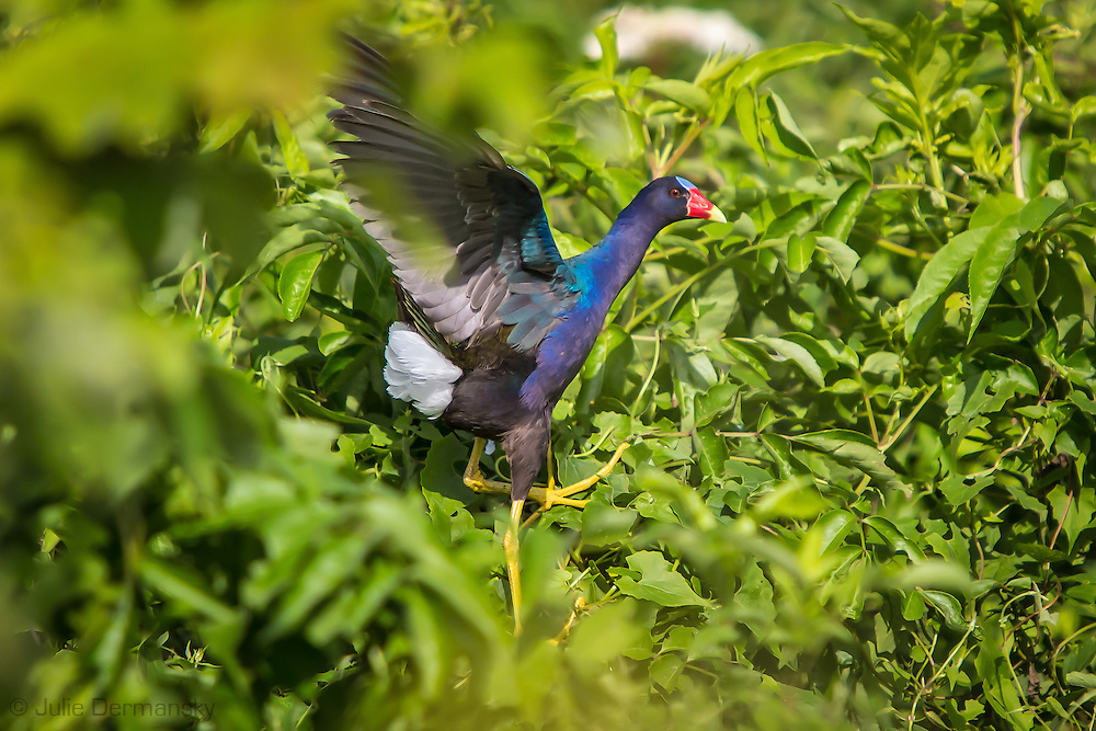 Purple Gallinule at a rookery in Lake Boeuf