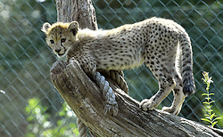August 26, 2017 - Prague, Czech Republic - Female Cheetah Savannah and her five cubs, born on May, 2017, explore their enclosure in Zoo Prague, Czech Republic, August 26, 2017. (Credit Image: © Michal Dolezal/CTK via ZUMA Press)